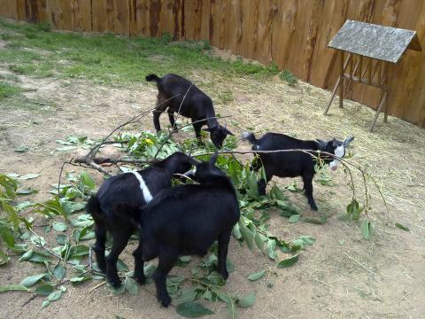 Farma Naděje: Naděje pro zvířata i lidi - kozy