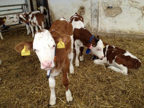 Farma Naděje: Naděje pro zvířata i lidi - telata