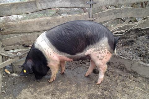 Farma Naděje: Naděje pro zvířata i lidi - přeštické prase