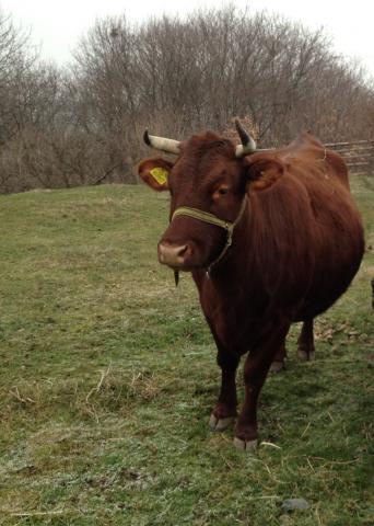 Farma Naděje: Naděje pro zvířata i lidi - býk na pastvě