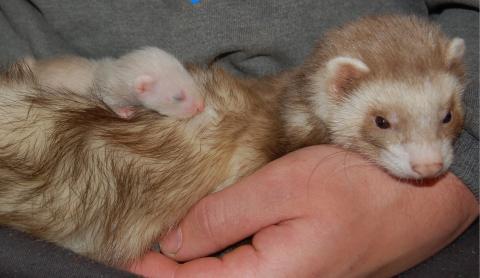 Fretka s mládětem v náručí
