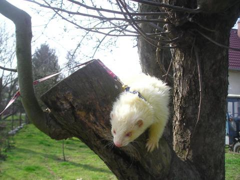 Fretka albín na stromě