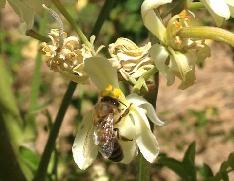 Moringa oleifera - včela